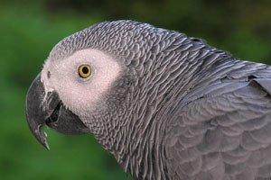 African-Grey-Parrot-300