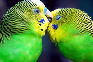 Parakeets-300