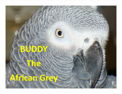 BUDDY The African Grey 04 26 17