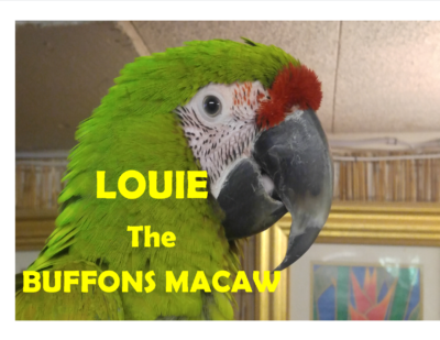 Louie Buffons Macaw