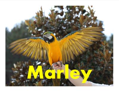 Marley BLUE N GOLD MACAW