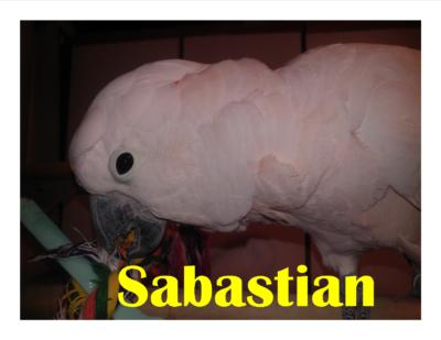 Sabastian Molouccan C too