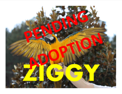 ZIGGY BLUE N GOLD MACAW PENDING ADOPTION